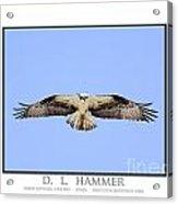 Osprey Hovering Over Prey Acrylic Print