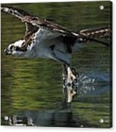 Osprey Hunter Acrylic Print