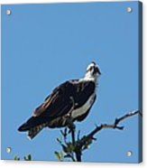 Osprey In A Tree Acrylic Print