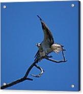 Osprey In Flight 2 Acrylic Print