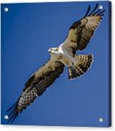 Osprey In Flight Acrylic Print