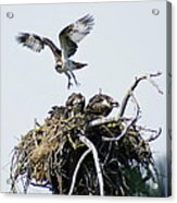 Osprey In Flight Over Nest Acrylic Print