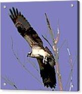 Osprey Lift Off Acrylic Print by Sharon McLain
