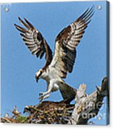 Osprey Mating Acrylic Print