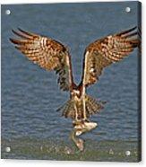 Osprey Morning Catch Acrylic Print
