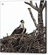 Osprey On A Nest In The Everglades Acrylic Print