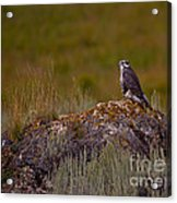 Osprey On A Rock   #7626 Acrylic Print