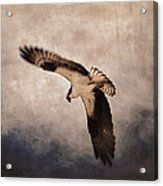 Osprey Over The Columbia River Acrylic Print