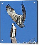 Osprey Pair Love In The Air Acrylic Print