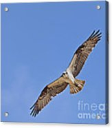 Osprey Pandion Haliaetus In Flight Acrylic Print