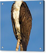 Osprey Perched In Yellowstone National Park Acrylic Print