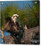 Osprey Preen 1 Acrylic Print