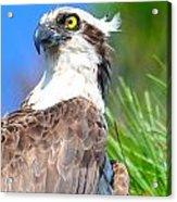 Osprey Profile Acrylic Print