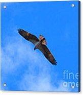 Osprey Soars Acrylic Print