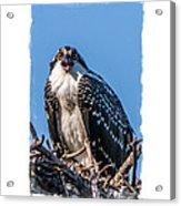 Osprey Surprise Party Card Acrylic Print