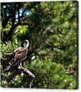 Osprey Talk Acrylic Print