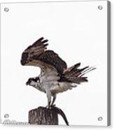 Osprey Wit A Trout Acrylic Print