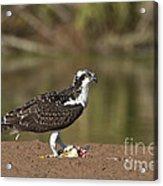 Osprey With Breakfast Acrylic Print