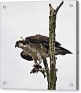 Osprey With Fish 2 Acrylic Print