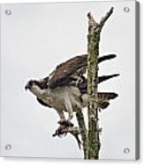 Osprey With Fish 3 Acrylic Print