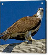 Osprey With Fish In Talons Acrylic Print