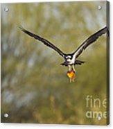 Osprey With Goldfish Acrylic Print