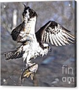 Osprey With Walleye Fish Acrylic Print
