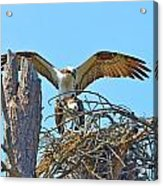 Ospreys Copulating In New Nest2 Acrylic Print