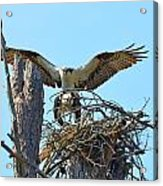 Ospreys Copulating In New Nest3 Acrylic Print