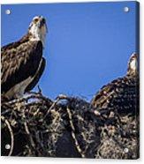 Ospreys In The Nest Acrylic Print