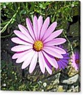Osteospermum - African Daisy - Pink Acrylic Print