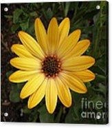 Osteospermum Orange Daisy Acrylic Print