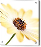 Osteospermum Sunny Flower I Acrylic Print by Natalie Kinnear