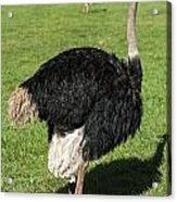 Ostrich 1 Acrylic Print