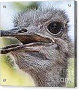 Ostrich Bokeh V2 Acrylic Print