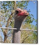 Ostrich Male Close Up Acrylic Print