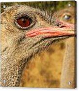 Ostrich Closeup Acrylic Print by Jess Kraft