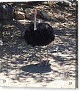 Ostrich Dance Acrylic Print