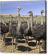 Ostrich Females South Africa Acrylic Print
