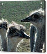 Ostrich Round-up Acrylic Print