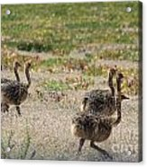 Ostrich Young Acrylic Print