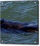 Otter 3 Acrylic Print