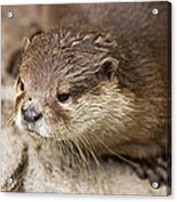 Otter Closeup Acrylic Print