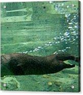 Otter  Acrylic Print