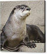 Otter North American  Acrylic Print