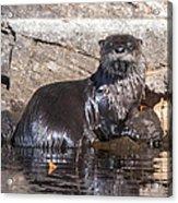 Otter Posing Acrylic Print
