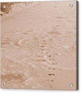 Otter Tracks In Fresh Snow Acrylic Print
