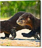 Otters Crossing The Road  Acrylic Print