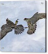 Young Peregrine Falcon And Ma Share In The Air Acrylic Print