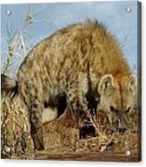 Out Of Africa Hyena 1 Acrylic Print